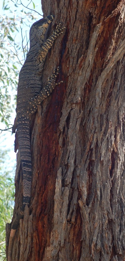 Lace Monitor (Goanna).
