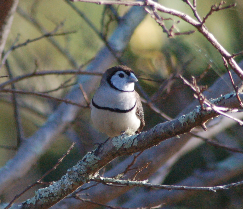 Double-barred finch sunning itself in the depths of Winter.