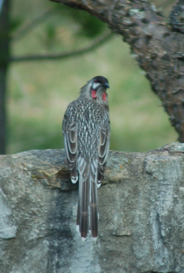 If the size of the wattles give an indication of age, then this is a rather mature wattlebird