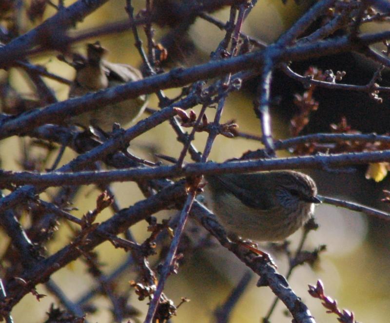 Thornbills basking in the bare forsythia branches