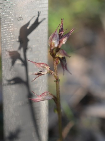 Inland Mosquito Orchid - Height. Just under 9cm tall... Easy to squash as you stomp around...